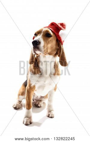 Marry Christmas. Cheerful dog is sitting and wearing a red hat. The beagle is looking aside with anticipation. Isolated