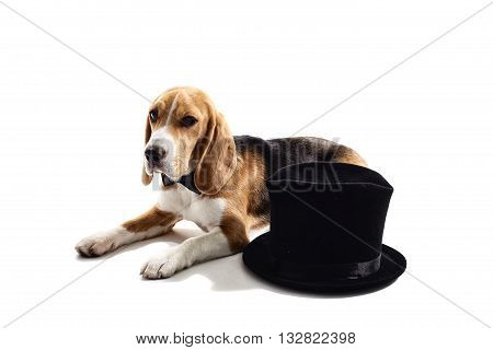 Pretty beagle dog is lying near a black gentleman cap. He has a bow tie on his neck. Isolated on background