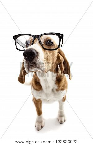 Smart beagle dog is wearing big eyeglasses. He is standing and looking forward with curiosity. Isolated