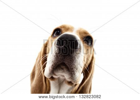 Close up of head of beagle dog looking forward with interest. Focus on his nose. Isolated