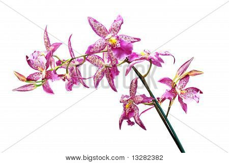 Dot Orchid