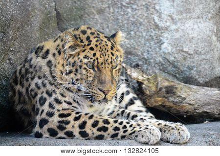An Amur Leopard resting on the rocks
