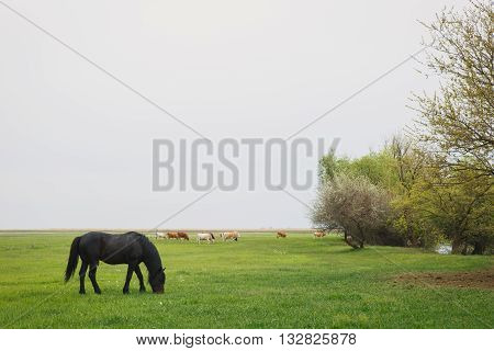 a black color horse grazing in a meadow on a summer day