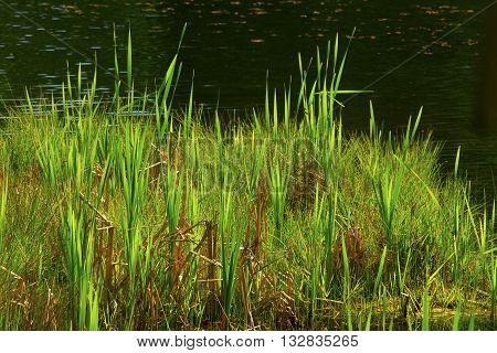 a picture of an exterior Pacific Northwest forest pond with  shoreline grass
