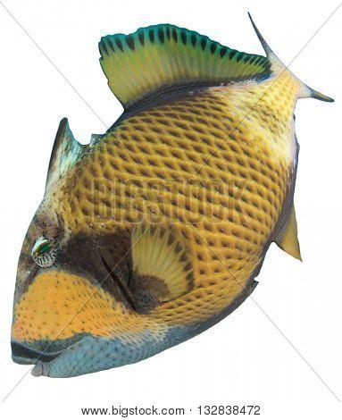 Marine fish isolated on white background: Titan Triggerfish