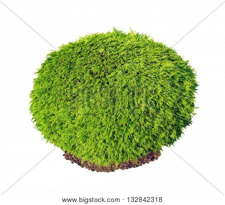 Thuja occidentalis Selena green bush isolated on white background.
