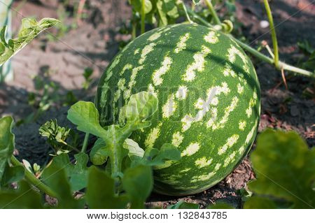 watermelon in the garden lying on the ground in the garden summer and autumn vegetable crop close-up