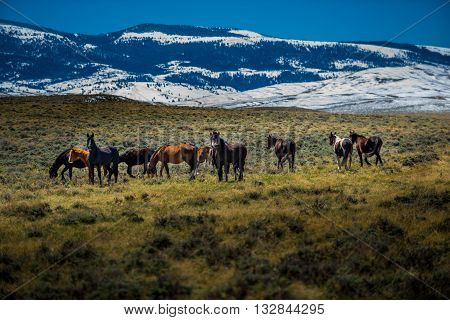 Wild Mustangs Horse Wyoming