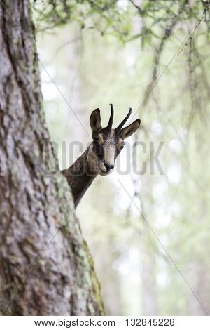 Chamois Behind The Trunk Of A Tree