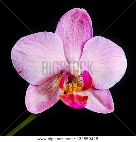 orchid flower isolated on a black background