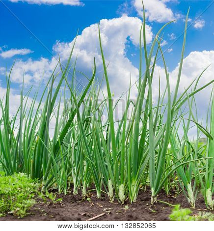 Growing green onion stalks in the vegetable garden against the sky with clouds
