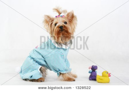 Isolated Terrier