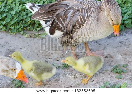 Two goslings of domestic gray geese and partially two adult birds on a grass background