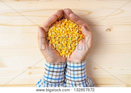Handful of harvested corn seed top view of adult caucasian male farmer holding pile of maize grains on wooden table.