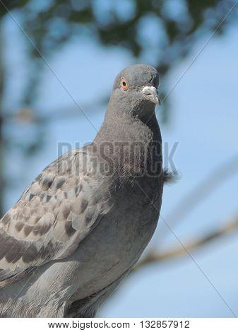 bird pigeon gray close-up animal one wildlife