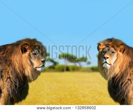 Two big male lion on the savannah.
