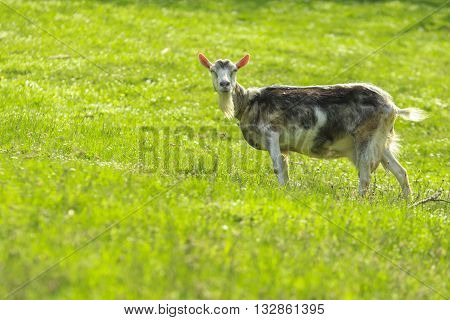 Gray goat female with black spots stands in a green field and watch