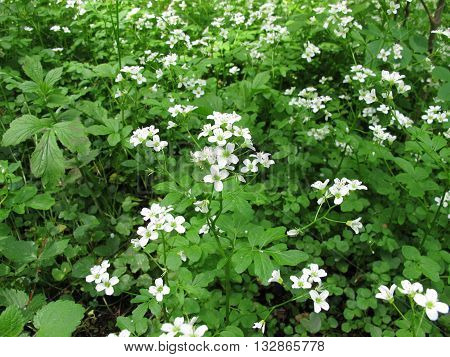 Blooming watercress, Nasturtium officinale, with flowers and leaves
