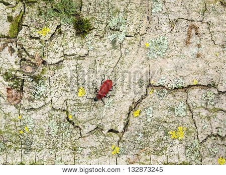 Cardinal beetle on multicolored bark surface seen from above