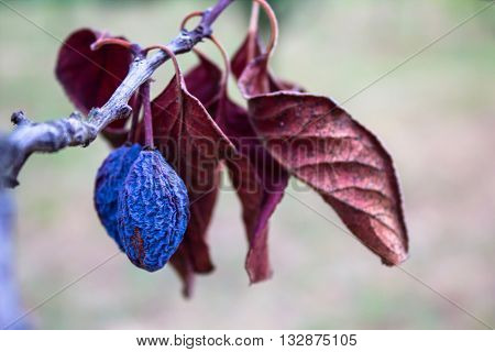 Beautiful vibrant blue dry plum fruit and purple lief on a branch
