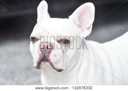 a white French bulldog in blur background
