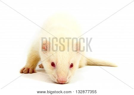 Albino ferret lying on a white background Isolated on white background