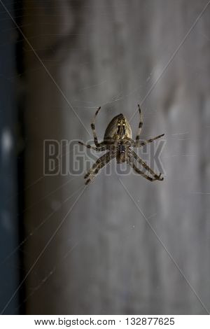 Home brown and black spider knitting a spiderweb