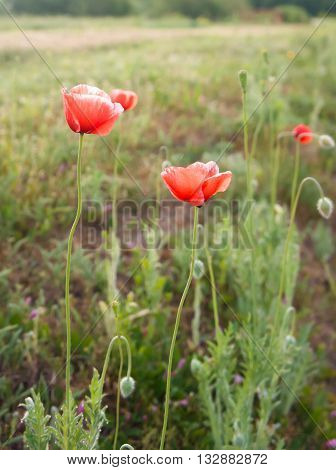 Flower, several pieces, in the field, poppy, red, round, a form round, foggy morning, dawn, darkly, summer, a green grass a background, natural, the nature, dew on leaves, sunrise,