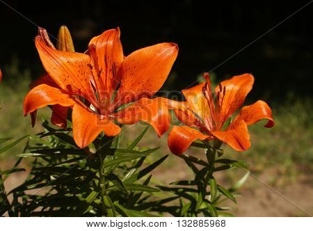 Two orange flowers of lilies in the garden