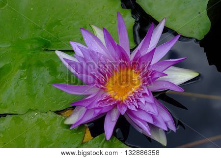 Lotus rare flower. Symbol of purity.in natural