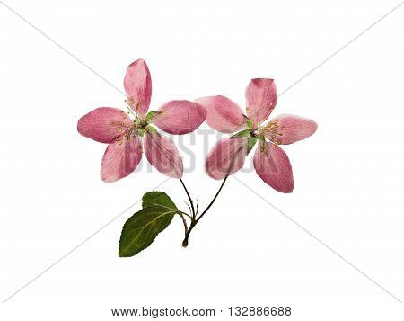 Pressed and dry bright pink flowers of apple on branch with leaves. Isolated on white background.