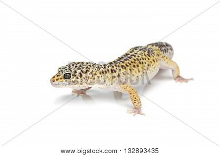 Small gicon lizard pet isolated over white background. Copy space.