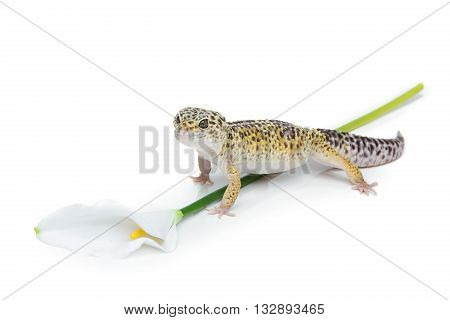 Small gicon lizard pet with flower isolated over white background. Copy space.