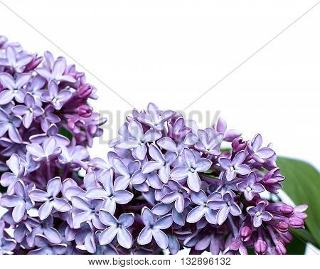Inflorescence of lilac flowers isolated on white background