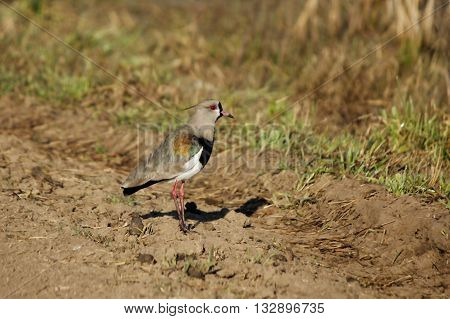 Tero on a street in field is a very high-pitched bird sound gives you the name is territorial and combative to defending its nest