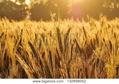 Field of barley lit by morning sun