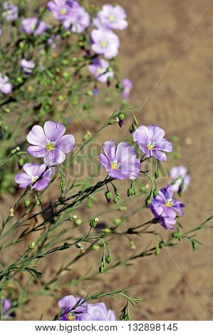 Linum perenne (perennial flax blue flax or lint). Flowering plant in the family Linaceae native to Europe primarily in the Alps and locally in England.