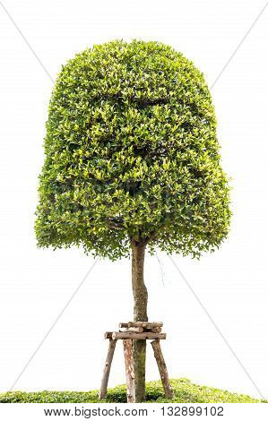 beautiful green dwarf tree isolated on white background