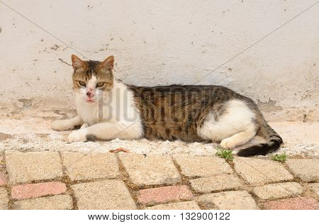 Homeless cat with a broken snout on street of Hersonissos Crete Greece.