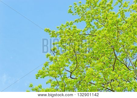 The branches of a tree blossoming with spring leaves against the sky