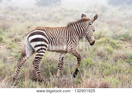A mountain zebra foal Equus zebra zebra walking in misty conditions near Cradock in South Africa