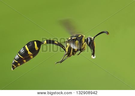 Wasp with nectar in the mouth to their children