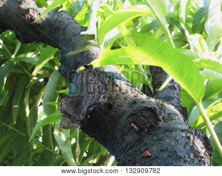 Closeup of peach tree excretion of gummy resin