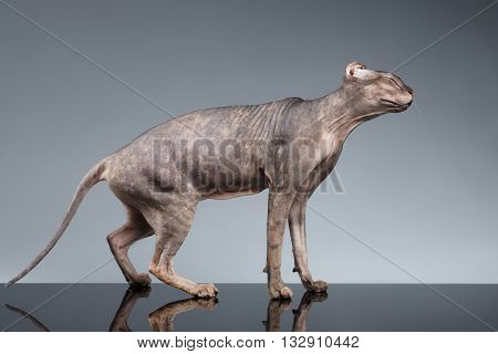 Sphynx Cat Standing and Shakes his Head on Dark Background