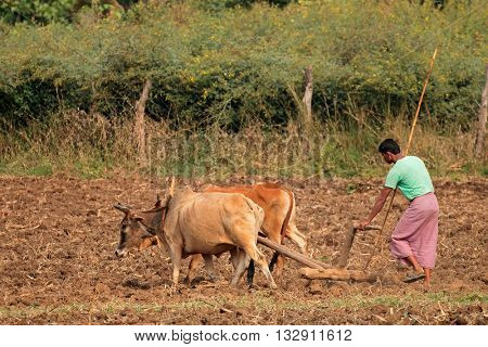 JABALPUR, INDIA - NOVEMBER 28, 2015: A rural Indian farmer plowing his field using a traditional wooden plow and ox team