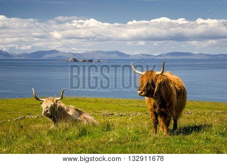 Highland Cattle with sea and islands in background Isle of Skye Scotland