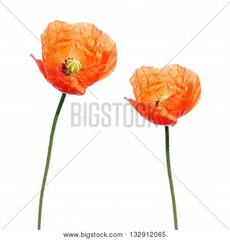 Red poppy flower (Papaver rhoeas) isolated on white background