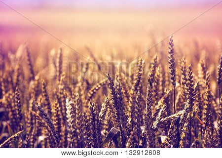 Beautiful golden wheat field retro toned rural scenery selective focus