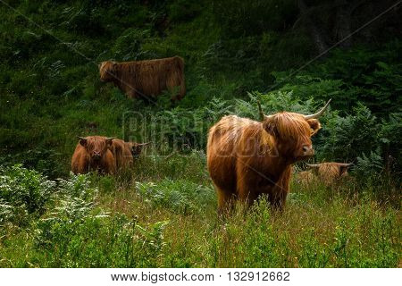 Highland cattle on Isle of Mull Scotland