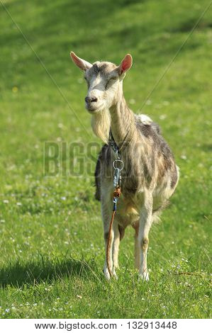 Goat stands in front on a green meadow